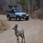 big horn sheep with jeep Colorado Jeep Tours