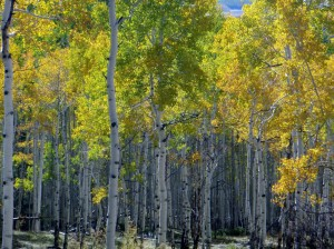 Colorado Jeep Tours Aspen Trees