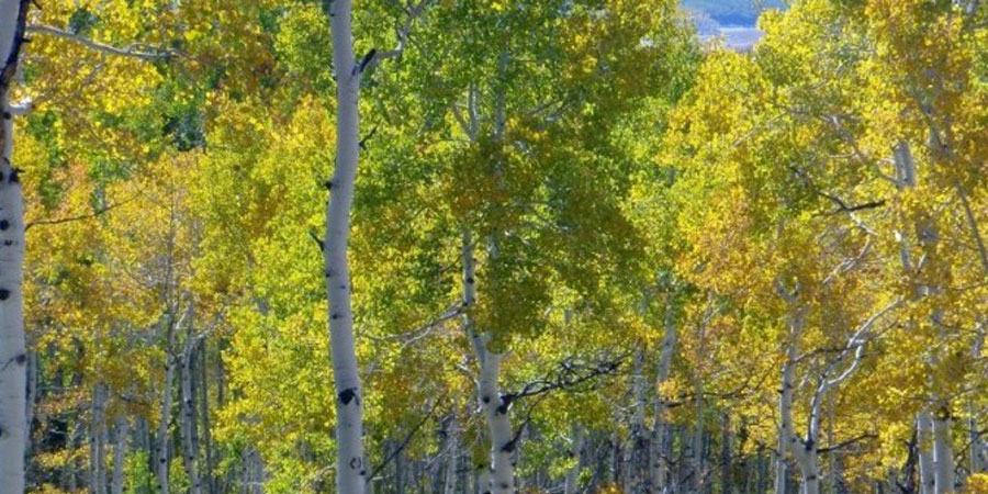 Colorado Fall Foliage - Aspen Trees