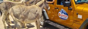 Donkey Gold Visiting Jeep Riders Colorado Jeep Tours