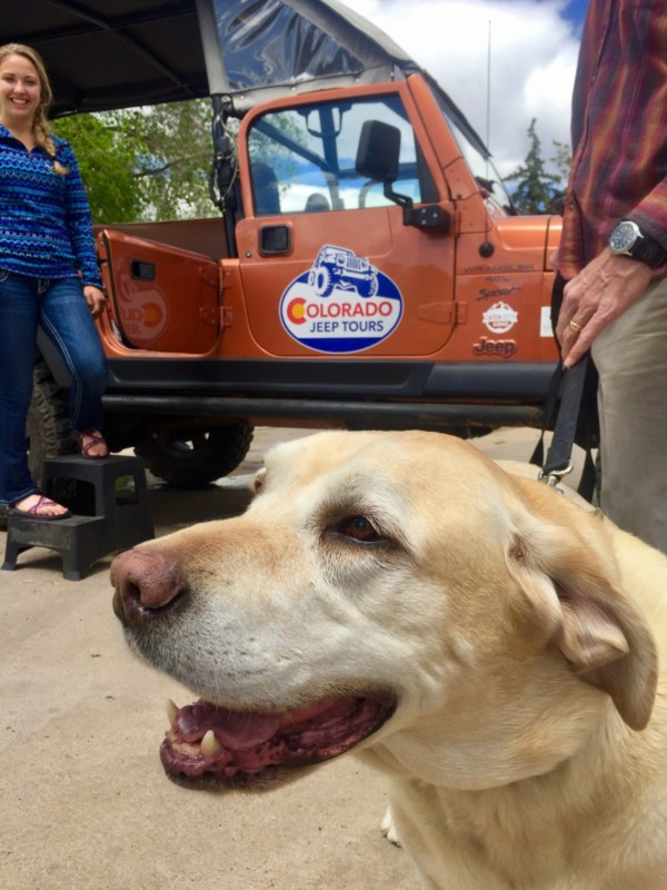 Ty the yellow Labrador Retriever loading up for a tour with Colorado Jeep Tours