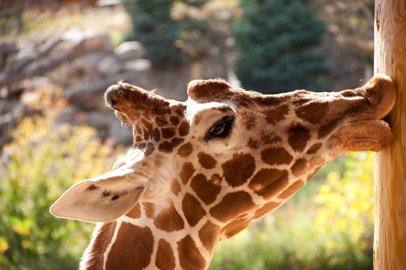 giraffe sunning at the Cheyenne Mountain zoo in Colorado Springs, CO