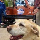 yellow lab dog enjoying the Colorado Jeep Tour