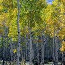 Colorado's changing leaves showing light green and yellow leaf aspen Colorado Jeep Tours