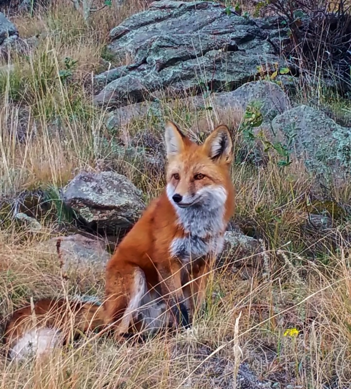Red-Fox-One-close-up