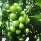 close up photo of wine grapes Colorado Jeep and Wine Tours